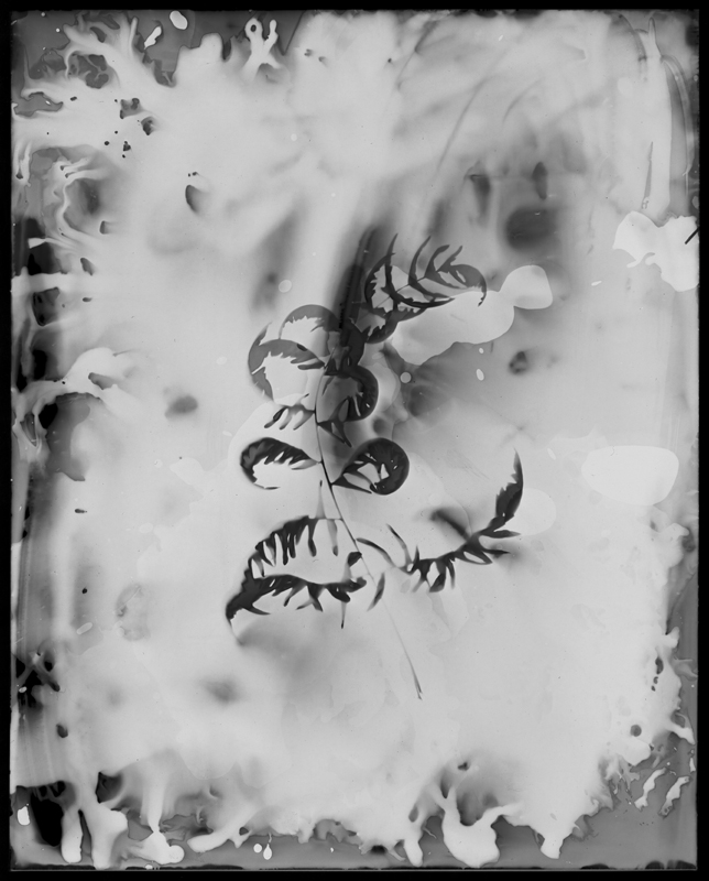 "Chemia et Botanica Studiis No. 2, 2013. 8x10"" silver gelatin paper negative"