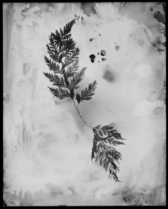 "Chemia et Botanica Studiis No. 3, 2013. 8x10"" silver gelatin paper negative"