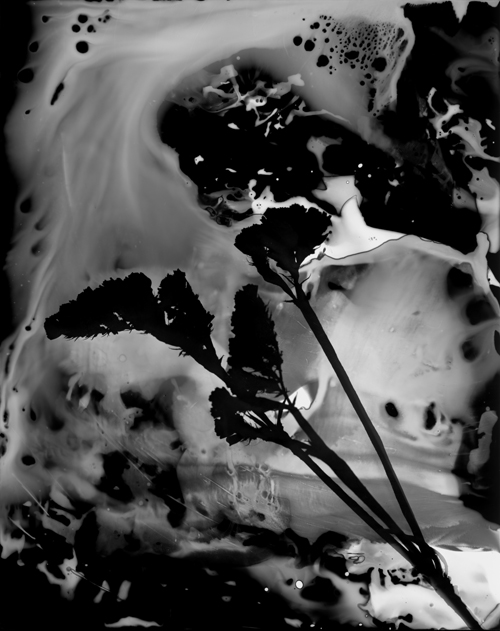 """Vernonia Altissima No. 1, 2013. 8x10"""" silver gelatin paper negative"""