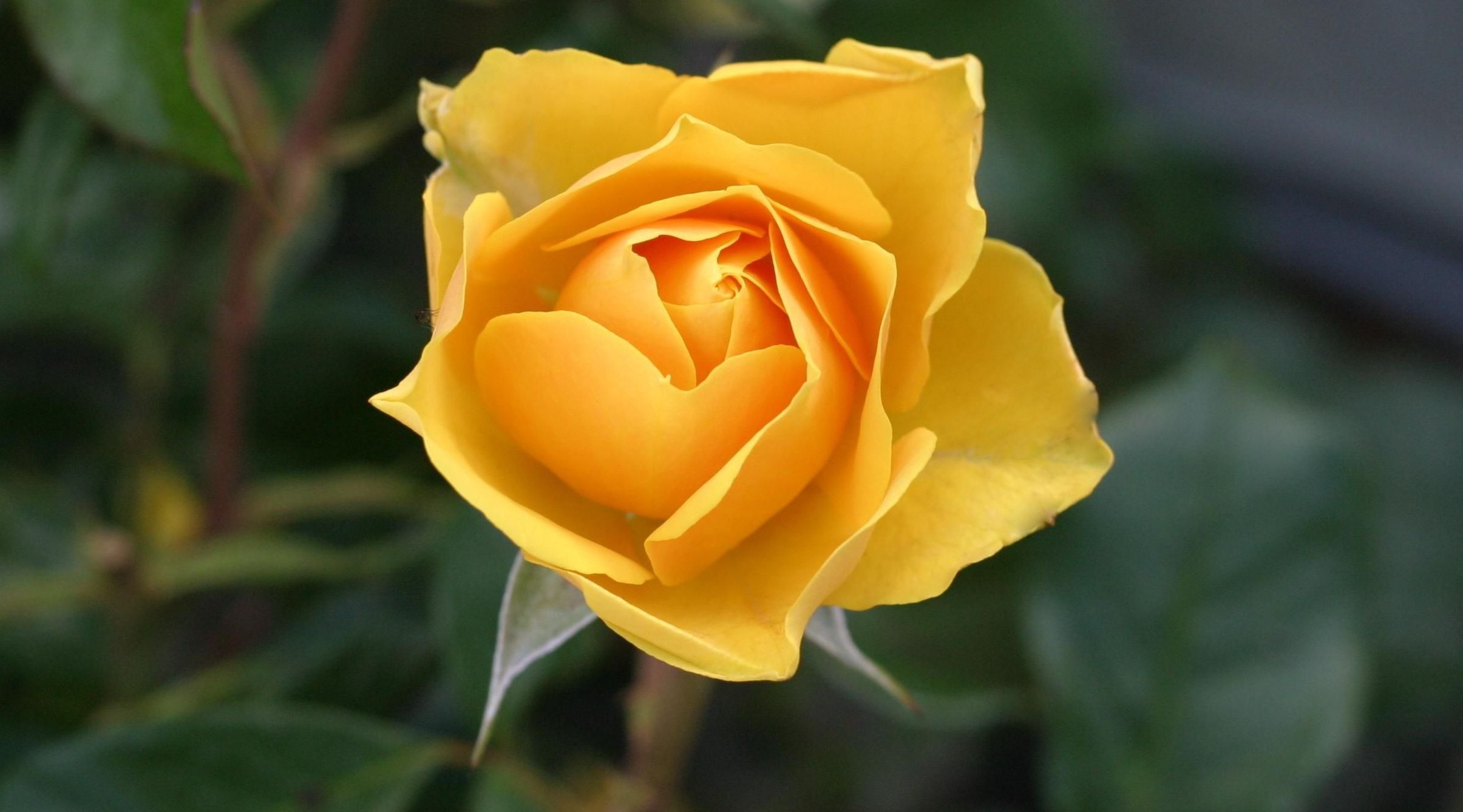 Rose competition - Submit a single stem to the judges on the day!