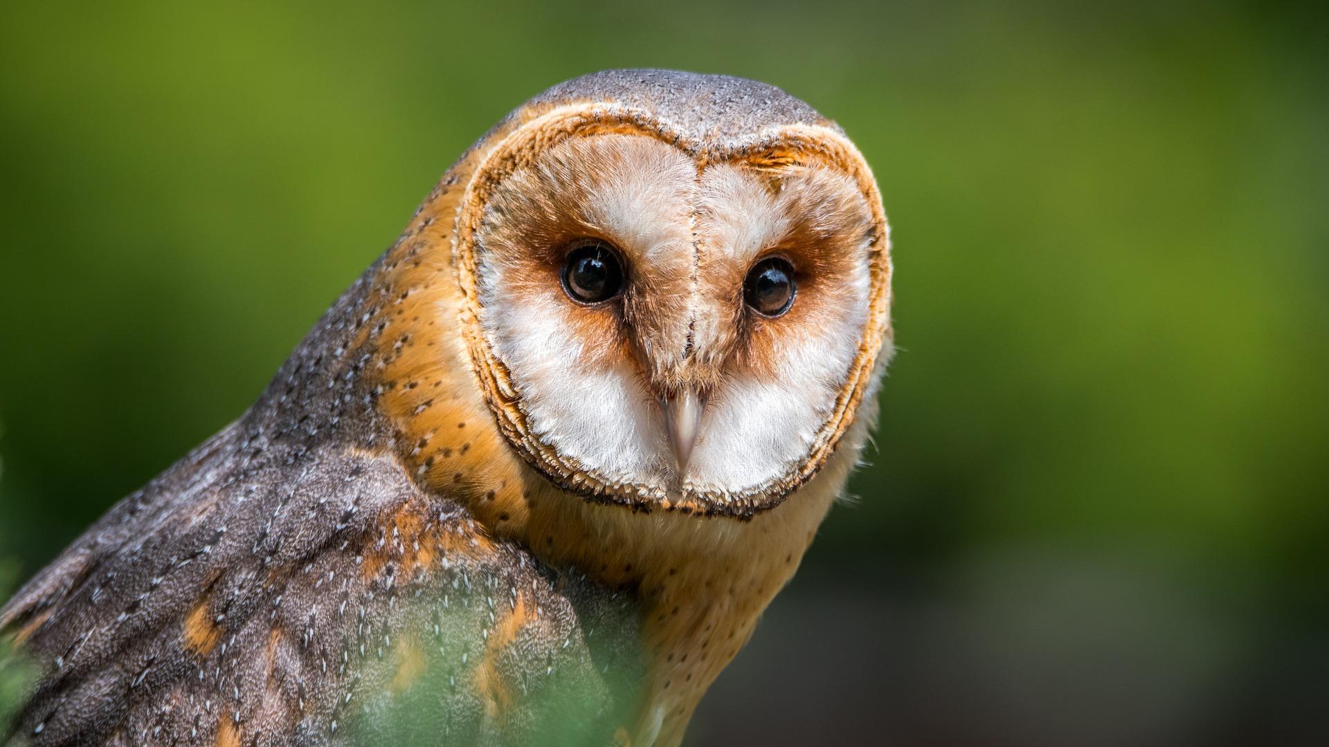 barn-owl-2550068_1920.jpg