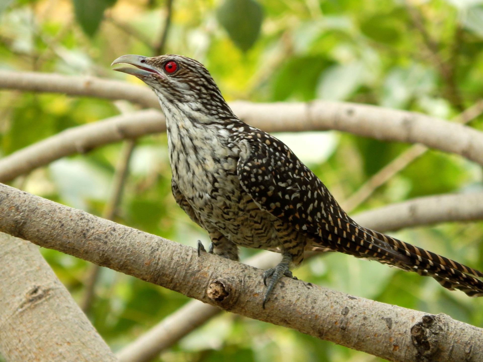 cuckoo-574790_1920.jpg