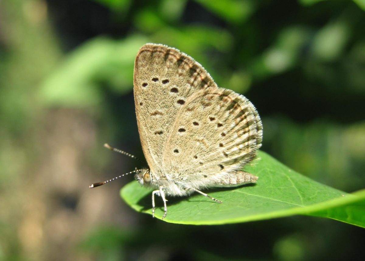 Mauritius-African-Grass-Blue-16-e1412808415254.jpg