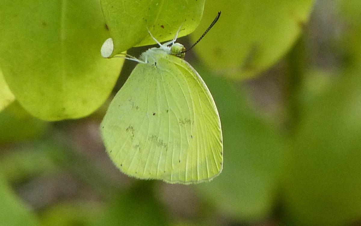 St-Lucia-Pale-Yellow-06-e1412807924867.jpg