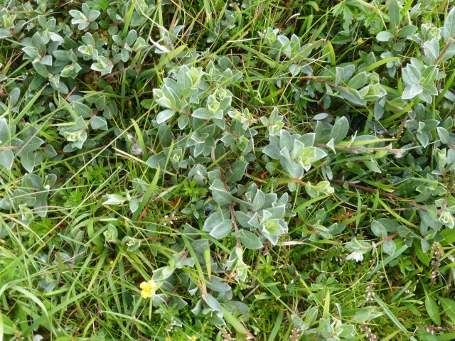 Within the herb-rich maritime grassland on Mousa can be found dwarf shrubs such as this Creeping Willow Salix repens.