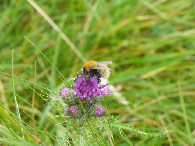 Shetland Bumblebee Bombus muscorum agricolae and Marsh Thistle Cirsium palustre , September 11th. By this time of year few pollinating insects or plants in flower are still standing on the island.