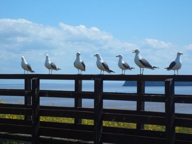 Flat Holm lesser black-back gulls