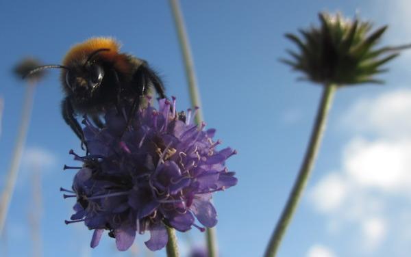 Shetland bumblebee on devil's bit scabious.