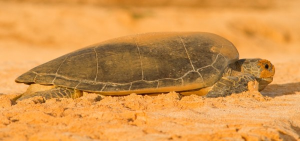 Green turtle after egg laying
