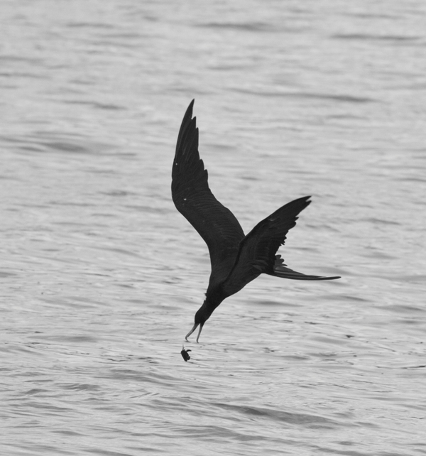Ascension frigate bird dropping green turtle hatchling