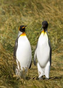 king penguins 2, pinguino rey