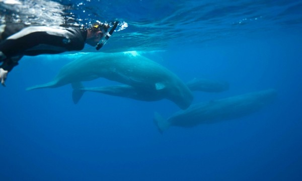 Azores-sperm-whale.jpg