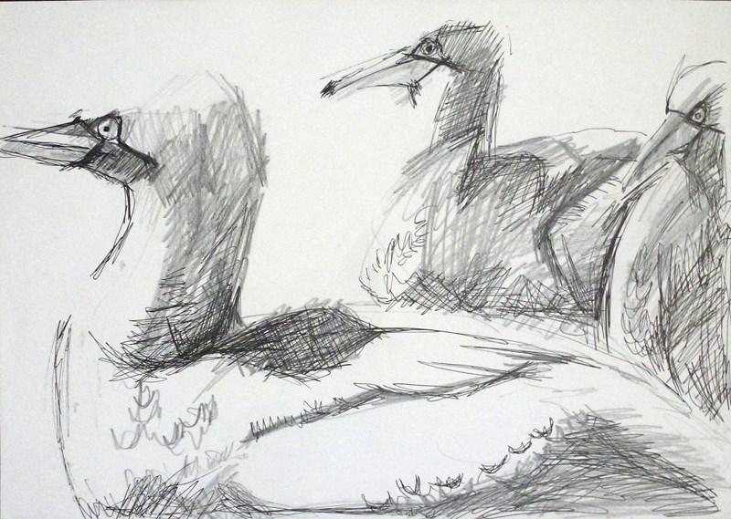 gannets_drawing.jpg