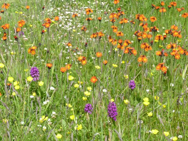 A_few_of_the_flowers_in_the_author_s_semi-wild_garden..jpg