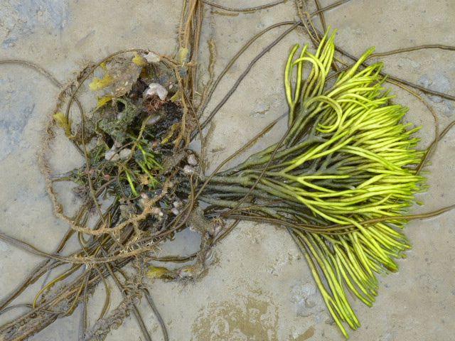 seaweed_at_Laggan_Bay.jpg