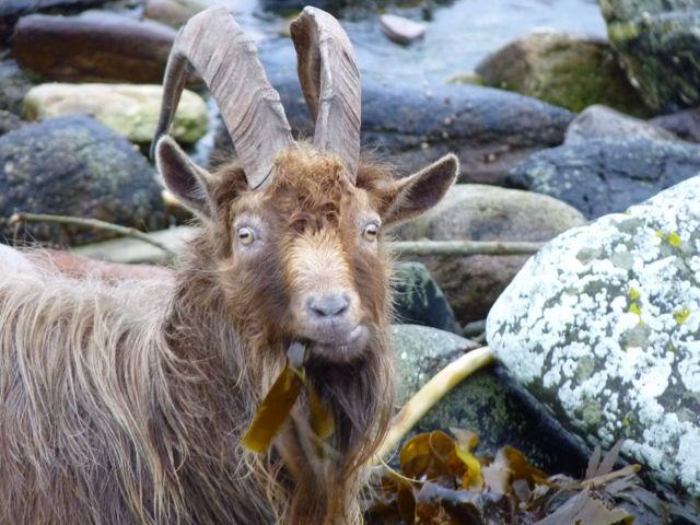 Billy_Goat.jpg