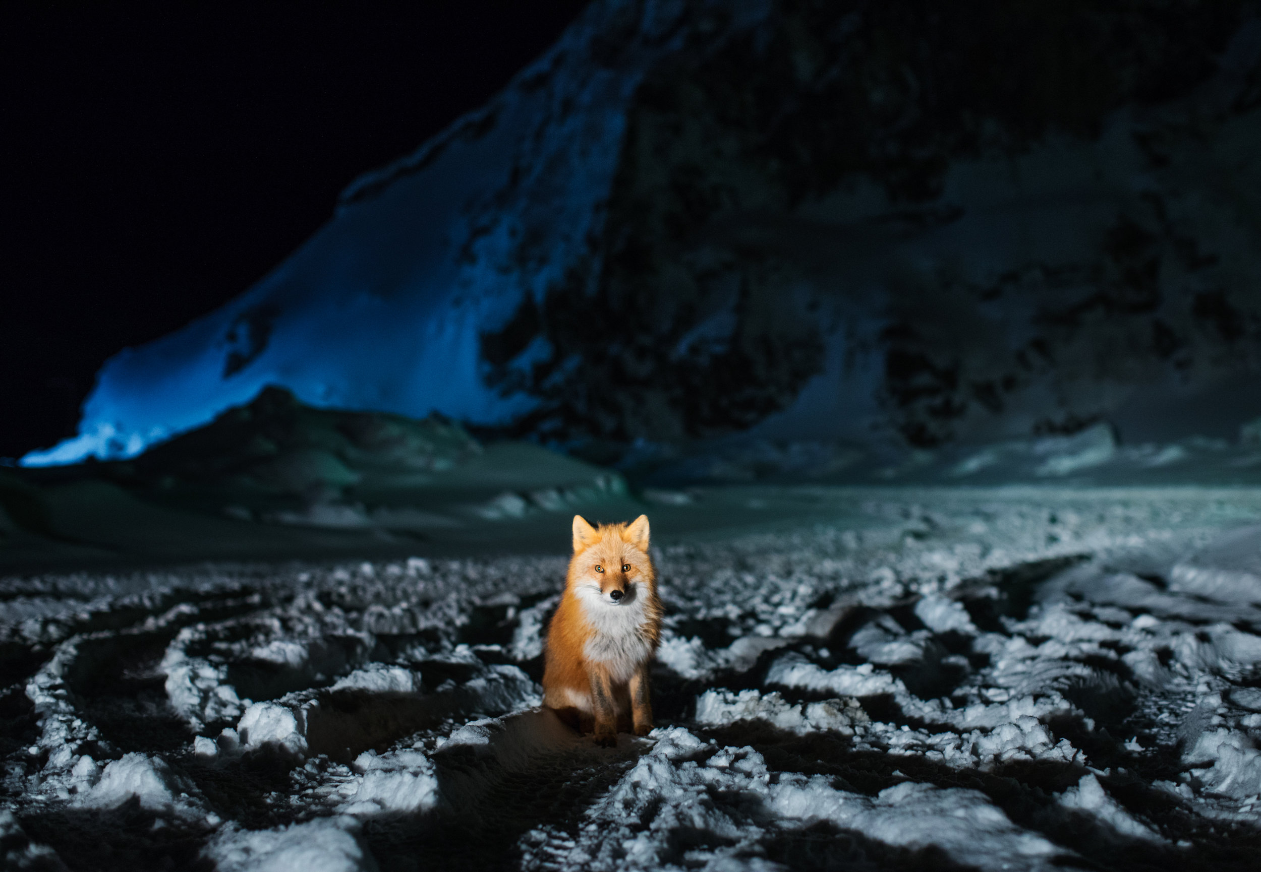 """Red Fox at Night"", a photograph by Corey Arnold, whose work is view April-May 2017 at Charles A. Hartman Fine Art, in Portland, Oregon"