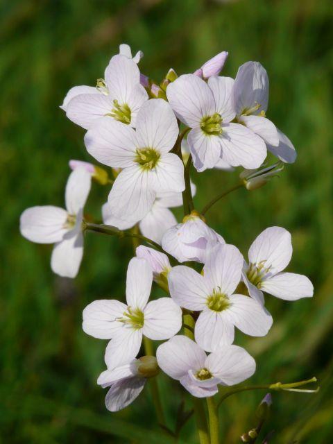 islay lady's smock flower