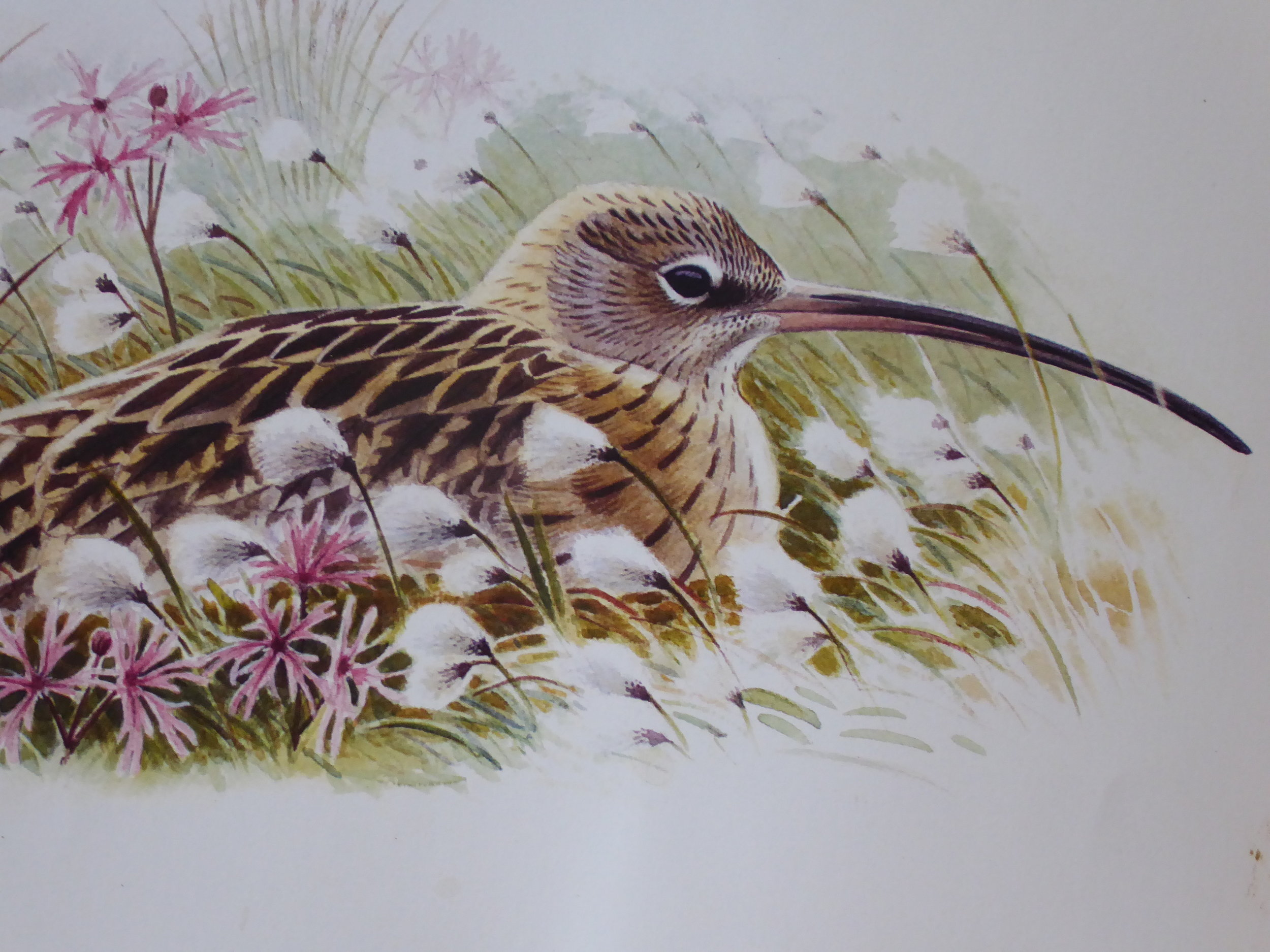 John Davis, Nesting Curlew