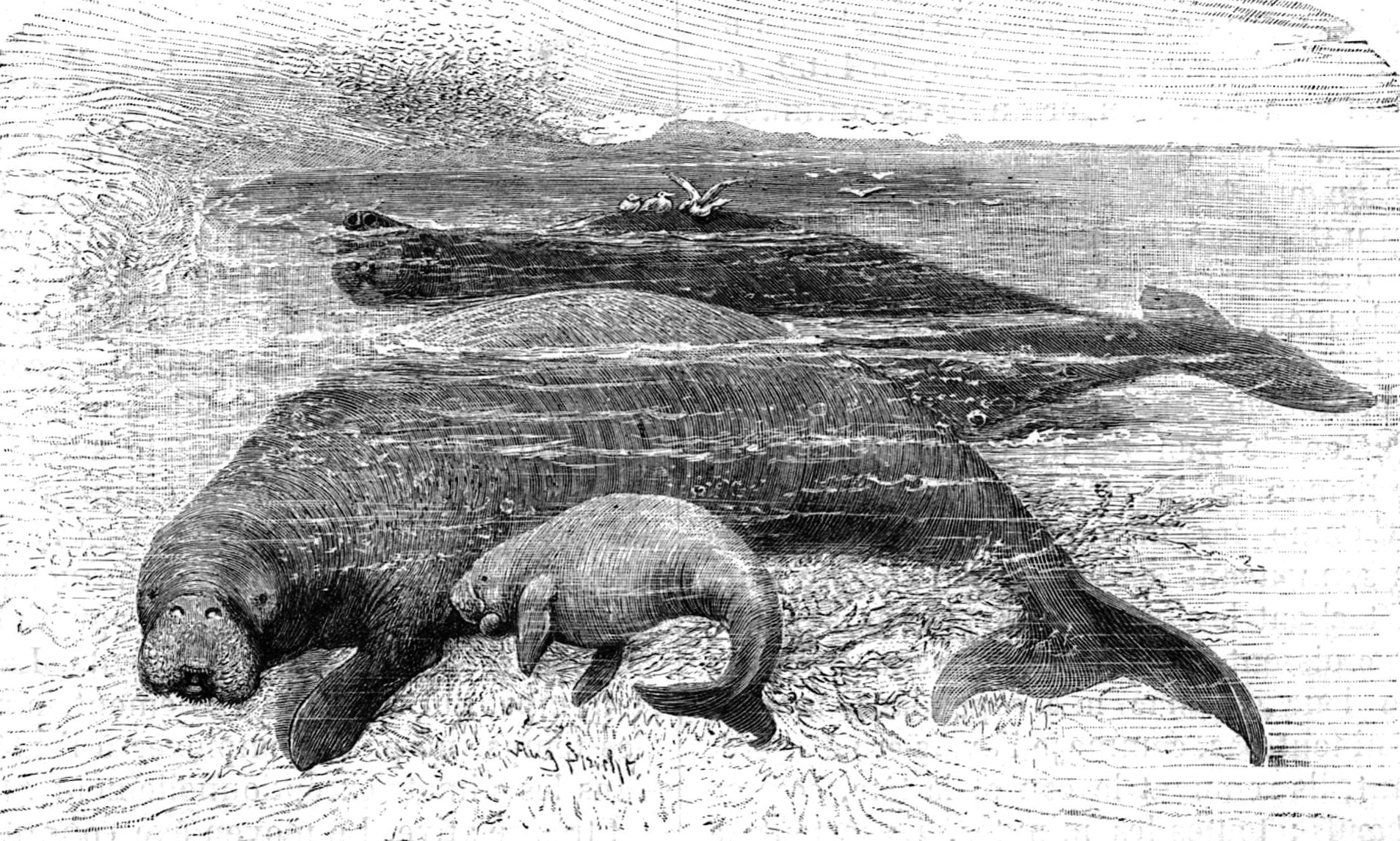 An 1898 drawing of a group of Steller's sea cows ( Hydrodamalis gigas ).