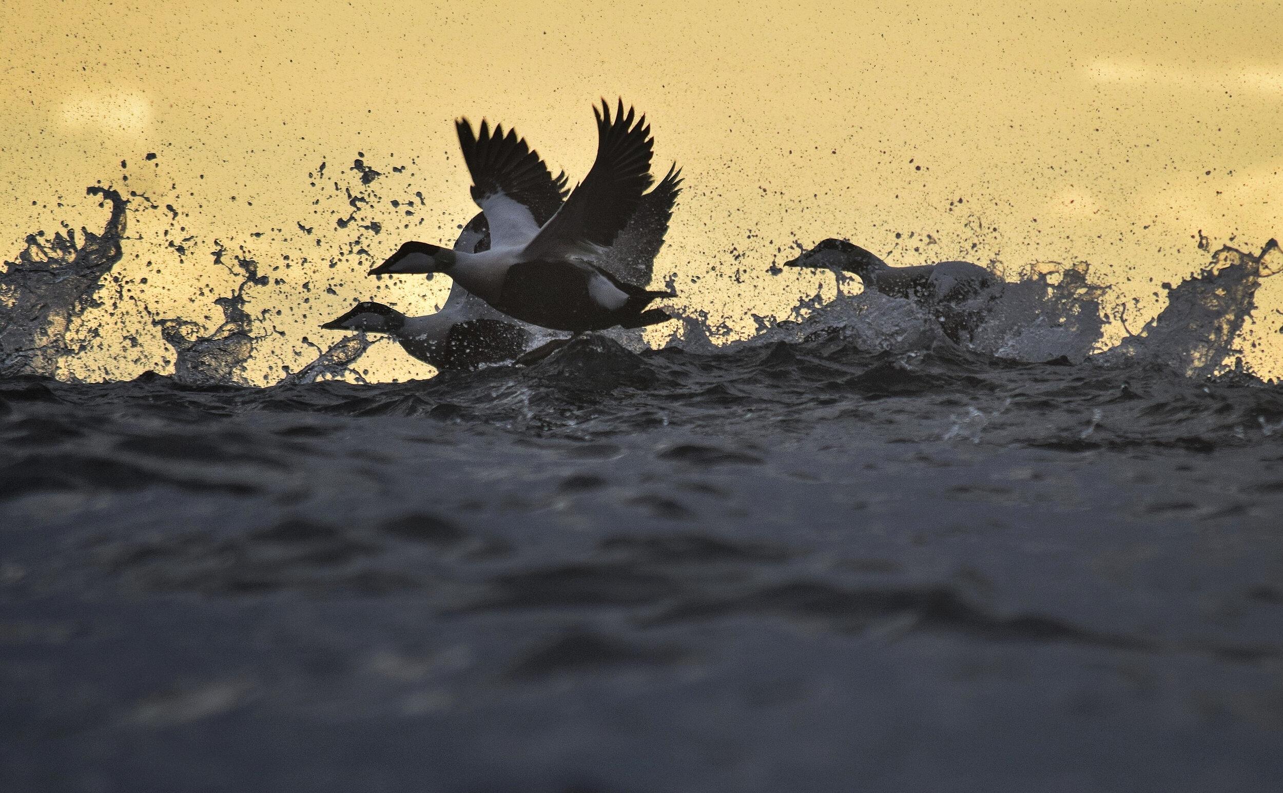 Eider Ducks south of Barra