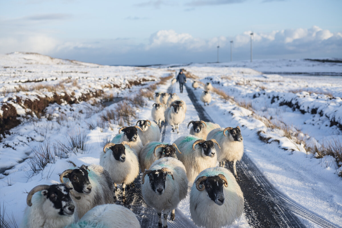 Sheep being moved along the Pentland Road (Rathad a' Phentland, Isle of Lewis in Winter