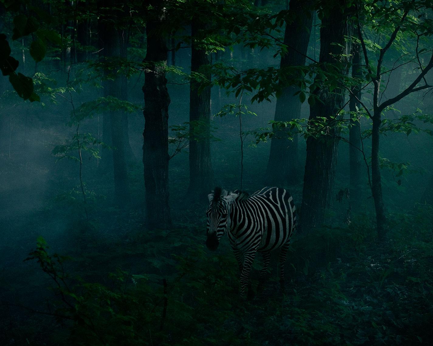 """Sarah Wilmer, Zebra, 22"""" x 26"""""""