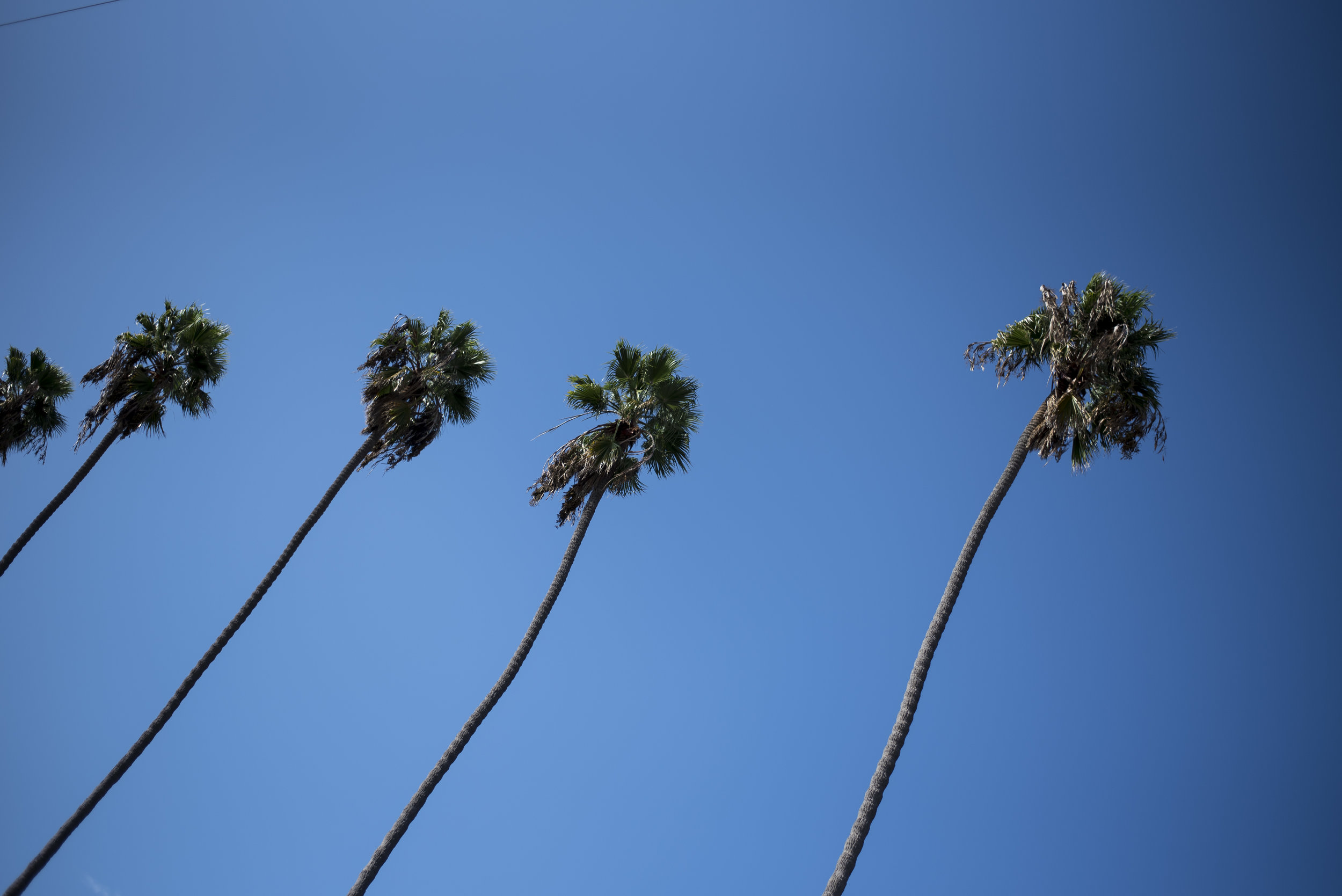 Perfectly spaced palm trees along Abbot Kinney Boulevard.