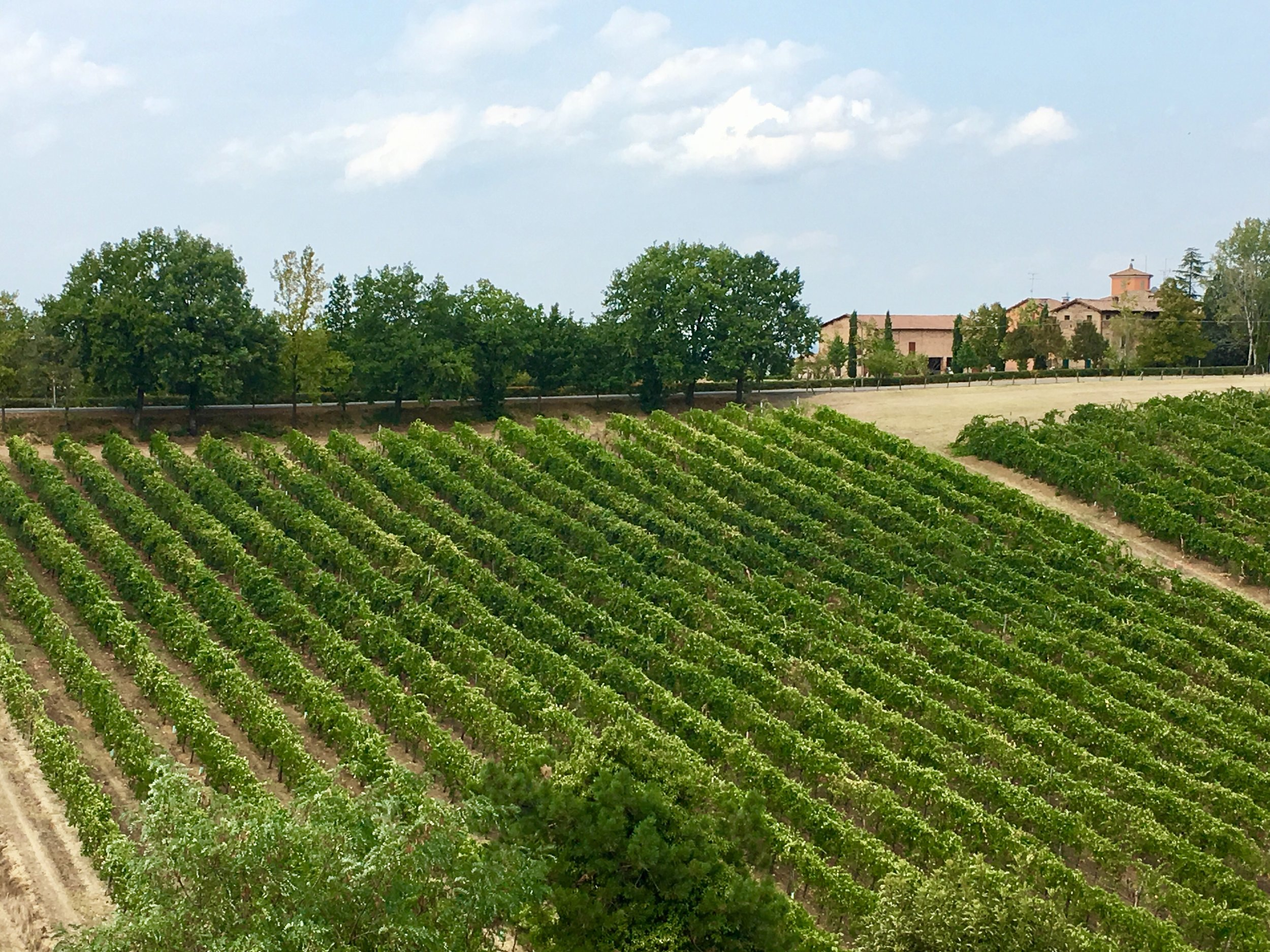 Lambrusco Vineyard from the castle of Levizzano.
