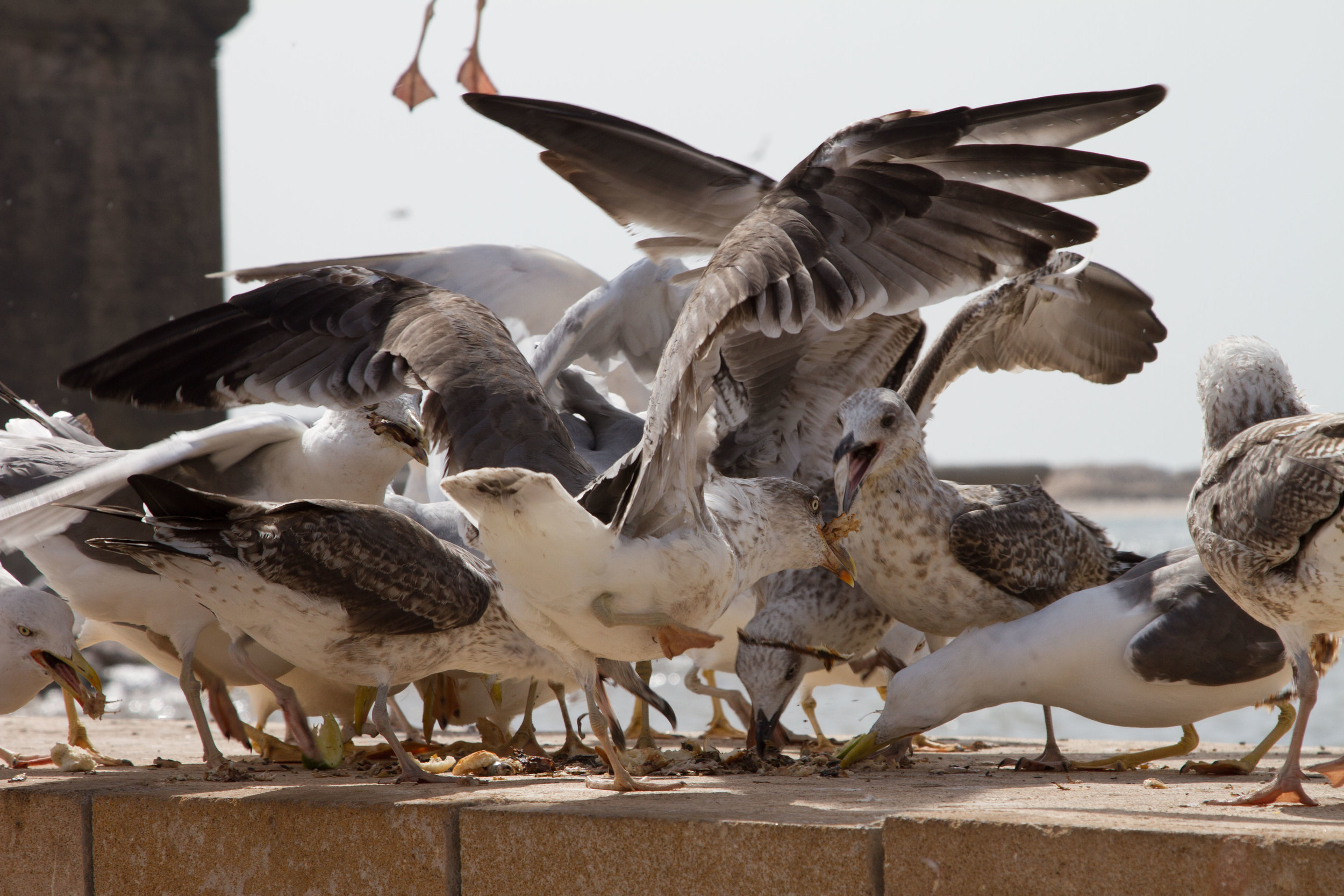 Flocks of seagulls fighting for fish scraps.