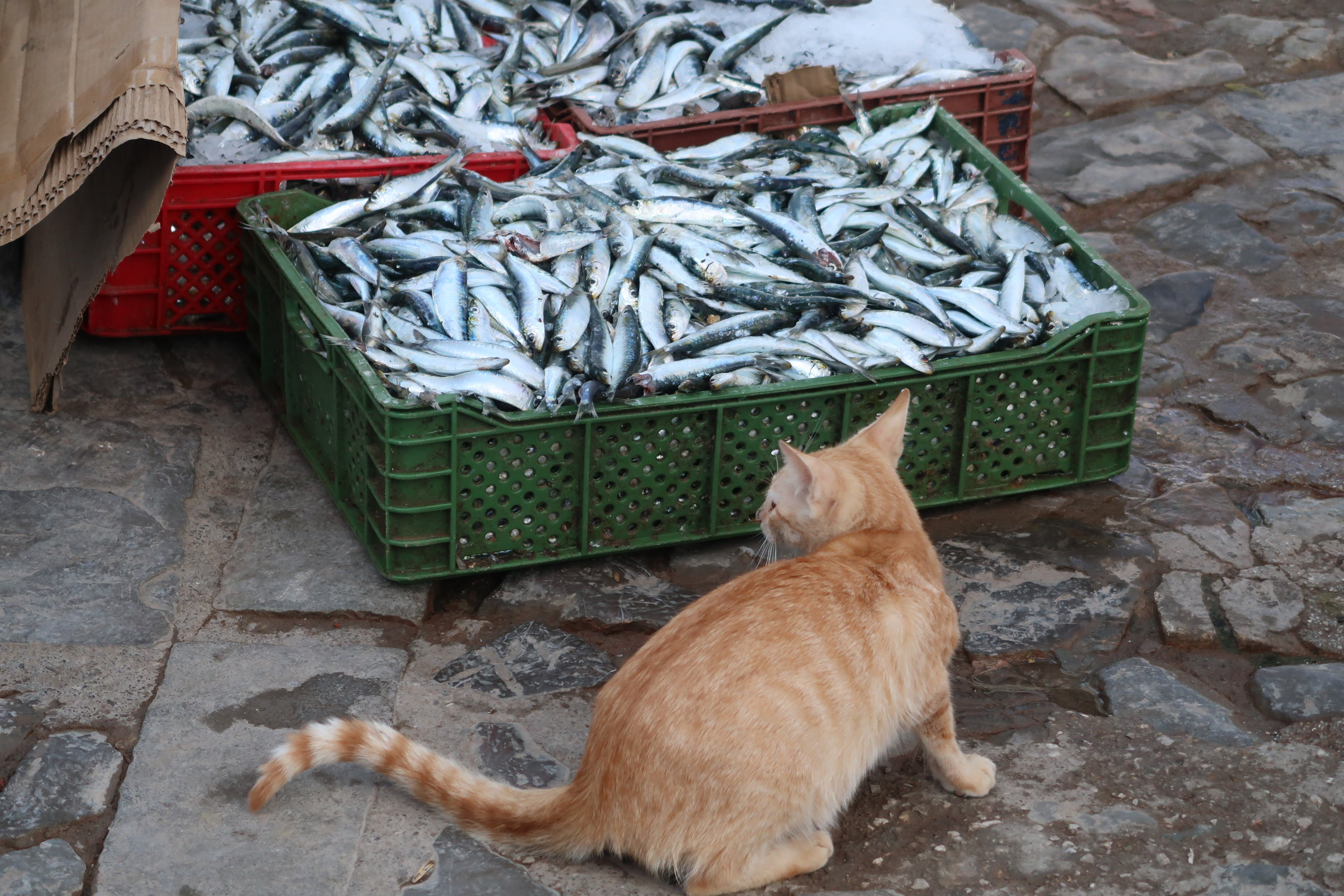 Cat trying to snatch a bite out of the fresh catch