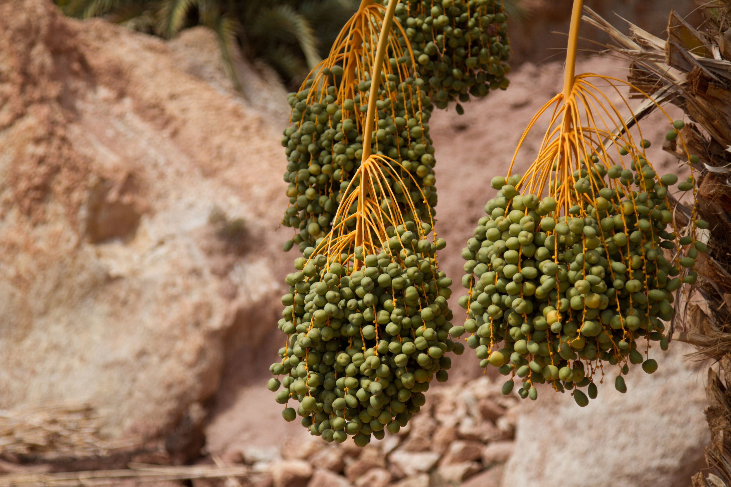 An abundance of date trees are grown throughout the arid land