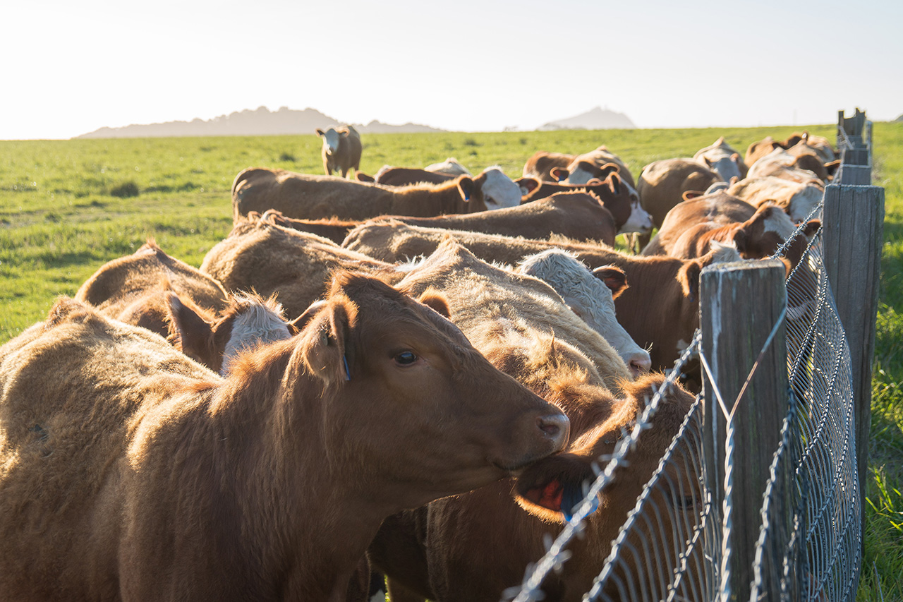 Curious cows along Highway 1.