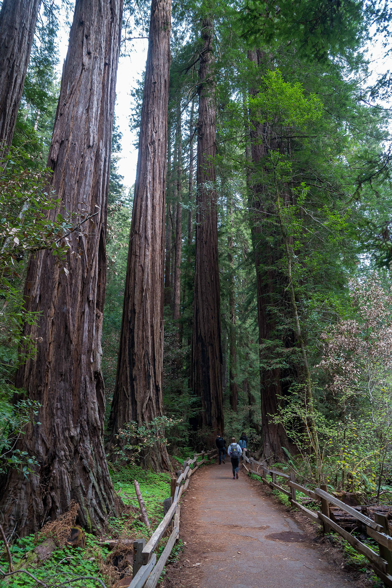 Among giants at Muir Woods National Monument.