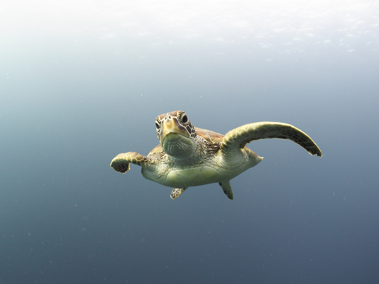 An inquisitive green turtle.