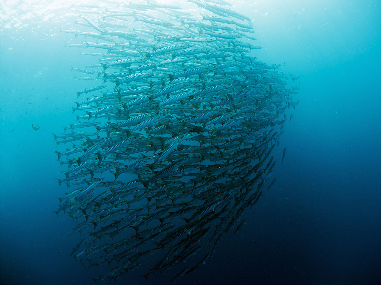 A unified school of Barracuda.