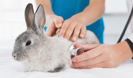 Veterinarian using a stethoscope on a rabbit.