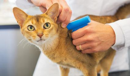 Veterinarian inserting microchip in cat.