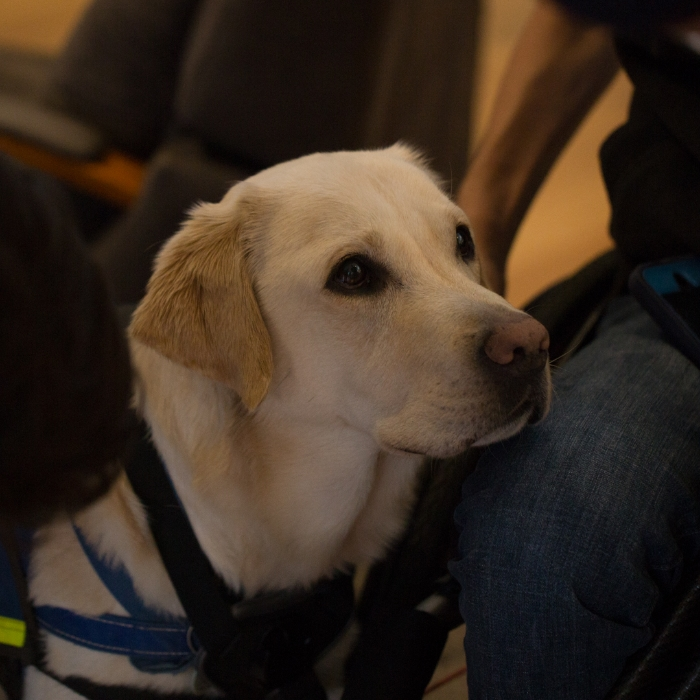 Fizz the physical assistance labrador