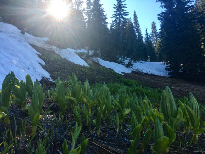 Wild lettuce growing up out of the snowy hillside