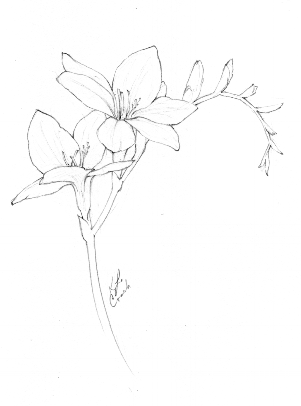 Flower drawings of freesia flowers by Katrina of Blushed Design.  This blog post reveals a collection of botanical illustrations and flower drawings from the annual inktober challenge. #inktober #flowerdrawings #botnaicalillustrations #blushedbotanicals www.blusheddesign.com