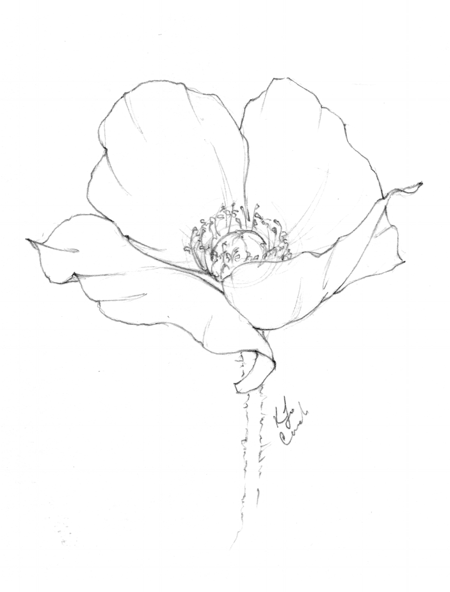 Flower drawing of a giant poppy by Blushed Design.  You can see some of the process behind her flower drawings in this image—the sketched out lines and the darker, more defined outlines. www.blusheddesign.com #giantpoppy #flowerdrawing #botanicalillustraiton #blushedbotanicals