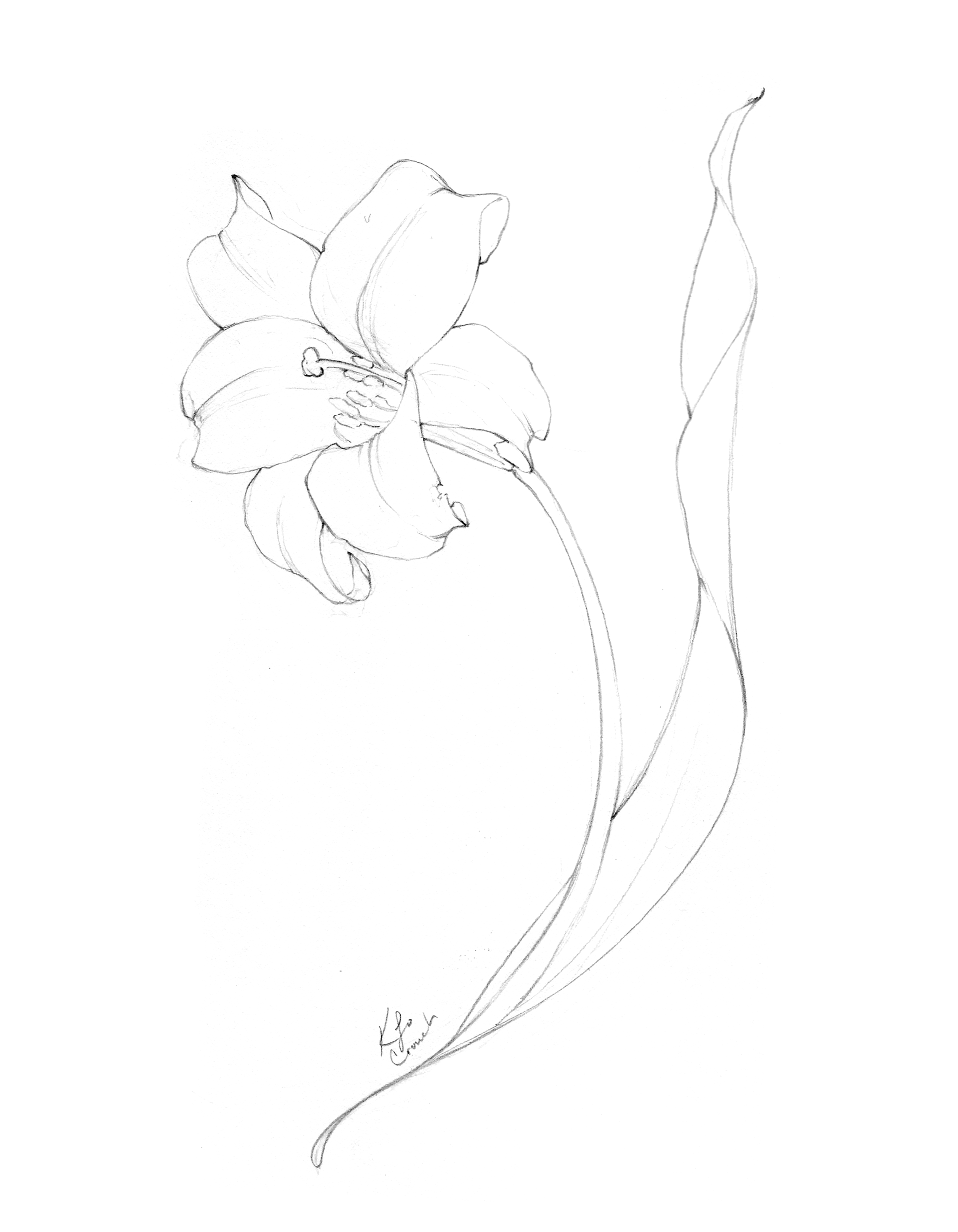 Flower drawing of graceful, dancing lily by Katrina of Blushed Design.  This blog post reveals a collection of botanical illustrations and flower drawings from the annual inktober challenge. #inktober #flowerdrawings #botnaicalillustrations #blushedbotanicals www.blusheddesign.com