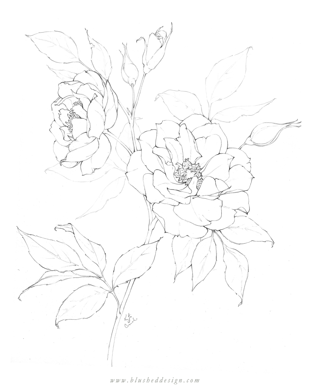 I love these beautiful spray roses at peek bloom!  Spray and garden roses are under-rated in my opinion.  Botanical illustration featuring whimsical rose pencil drawing by Katrina of Blushed Design. #floraldrawing #flowerdrawing #botanicalillustration #gardenroses