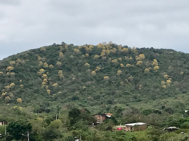 Guayacan trees.jpg
