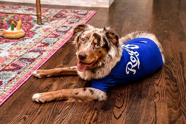 Furever Royal 👑💙⚾️ Frappe is ready for opening day!!🐶🤪 • • • • #aussie #dogsofinstagram #openingday #royals #kansascity #aussiesofinstagram #dogs #kcroyals #mlb #dogoftheday #dogstagram #dogsbeingbasic #foreverroyal #australianshepherd #kcmo #baseball #baseballdogs #instadog #love #dogjersey #fun #baseballseason #fureverlove #puppylove #puppy #barkatthepark #royalsfamily