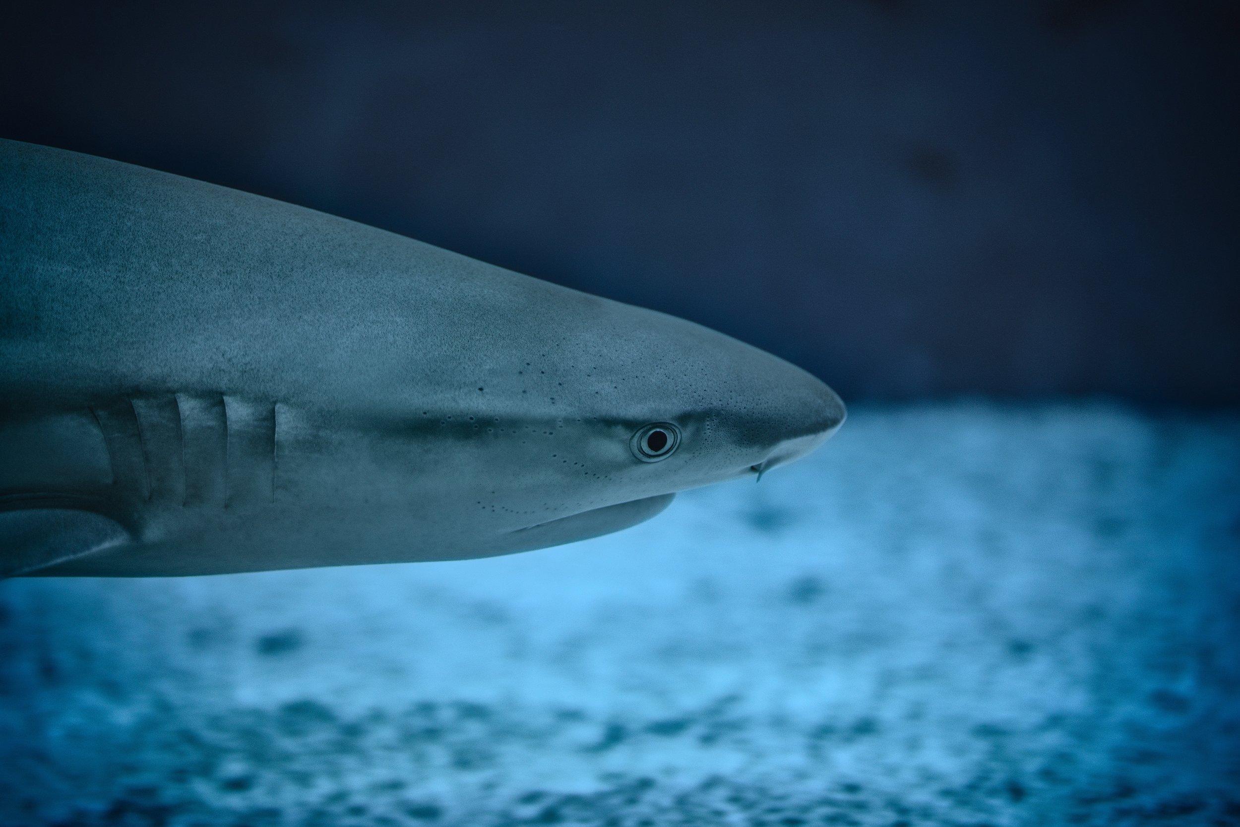 florian-klauer-114797_shark.jpg