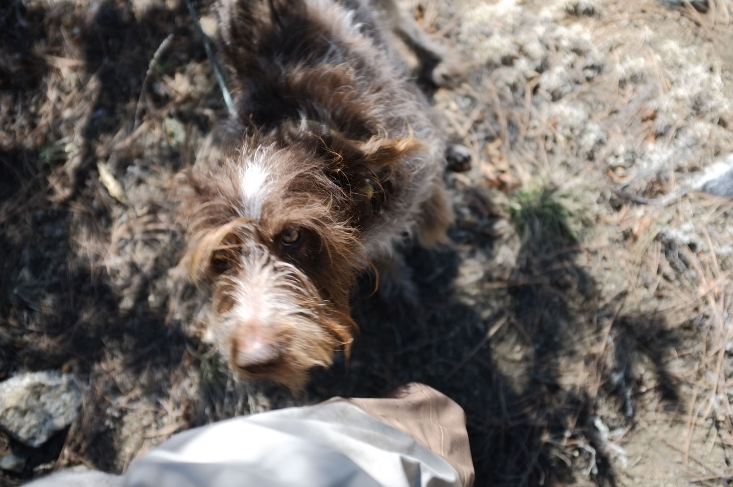 wirehaired pointer baxter