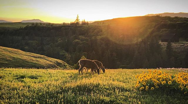 🦌🦌 enjoying an evening meal as the sun sets . . . . #pnw #pnwonderland #pnwphotographer #pnwhiking #oregon #traveloregon #columbiarivergorge #columbia #river #rowenacrest #hoodriver #thedalles #hills #hillsong #mountains #mthood #cascademountains #sky #sunset #goldenhour #flowers #wildflowers #grass #spring #deer #🦌 #wildlife #nature #naturephotography #landscapephotography