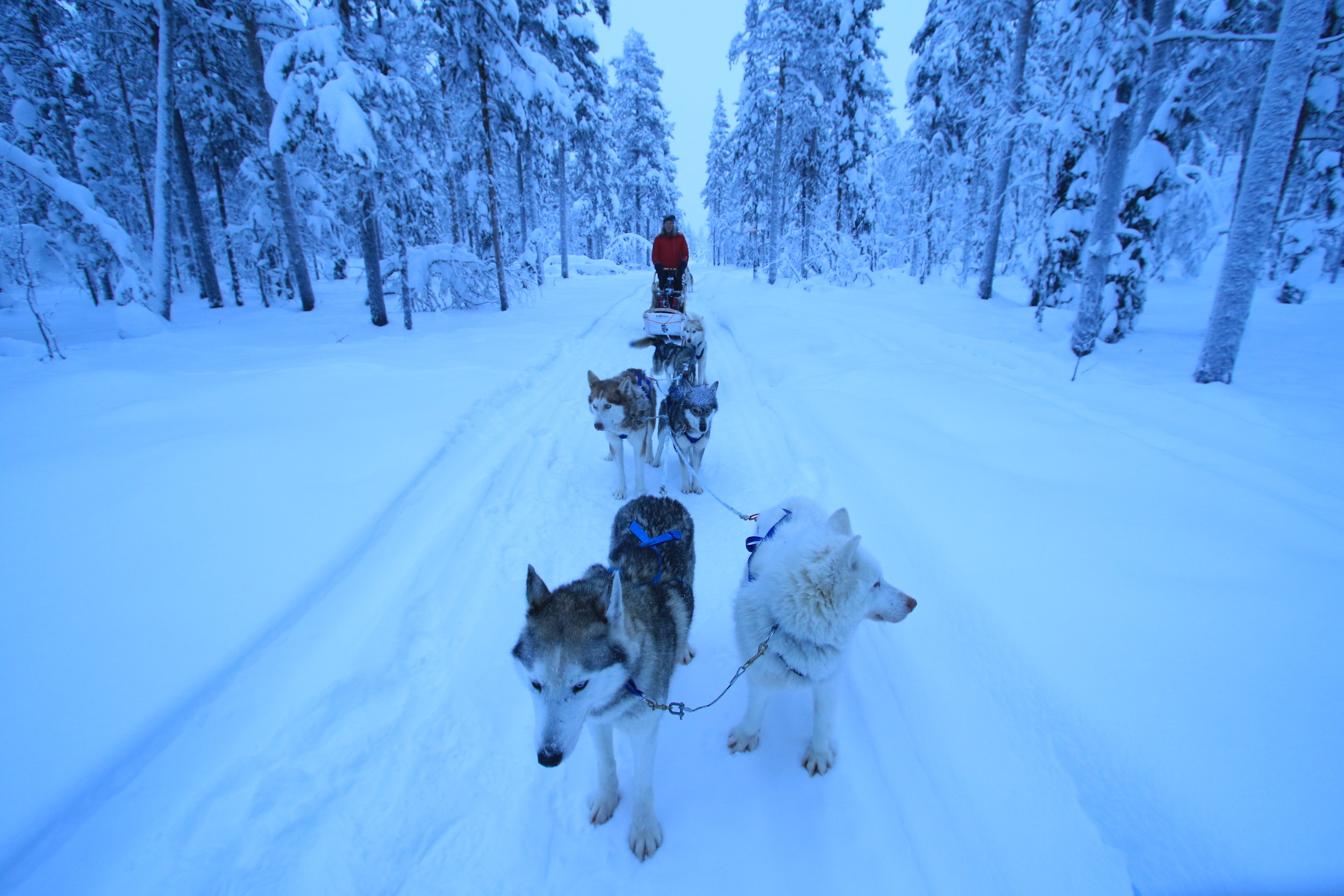 Swedish Lapland Tours | Dog Sledding in Kiruna, Sweden